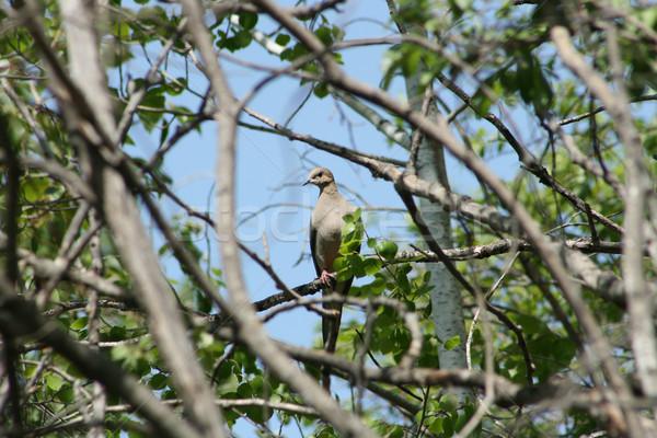 喪 鳩 ツリー 支店 森林 春 ストックフォト © rhamm