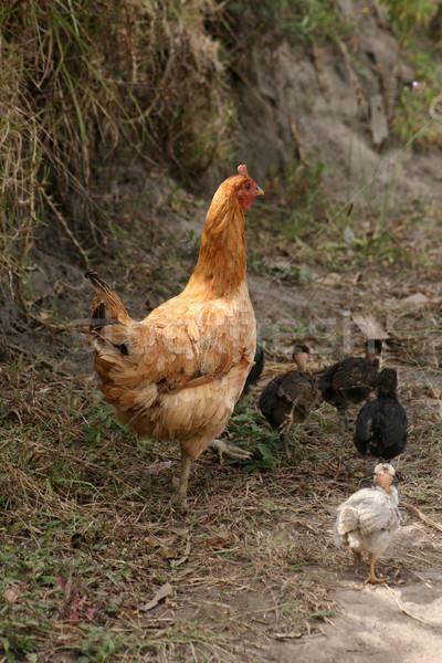 Libre pollo pollitos campo Foto stock © rhamm