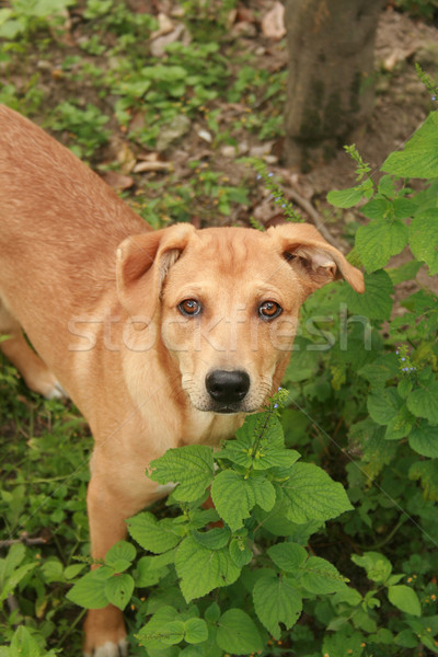 Brown Dog in a Garden Stock photo © rhamm
