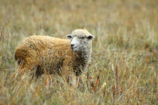 Ovelha prado em pé fazenda animal Foto stock © rhamm
