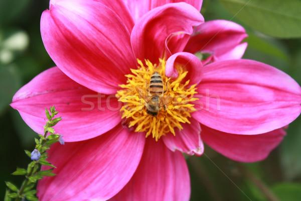 ミツバチ 紫色の花 ピンクの花 庭園 ストックフォト © rhamm