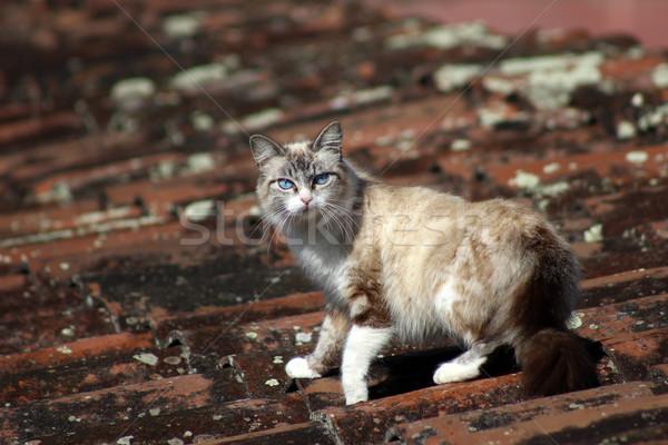 Kedi çatı ayakta hayvan Stok fotoğraf © rhamm