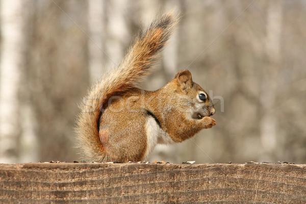 Vermelho esquilo alimentação sementes girassol sessão Foto stock © rhamm