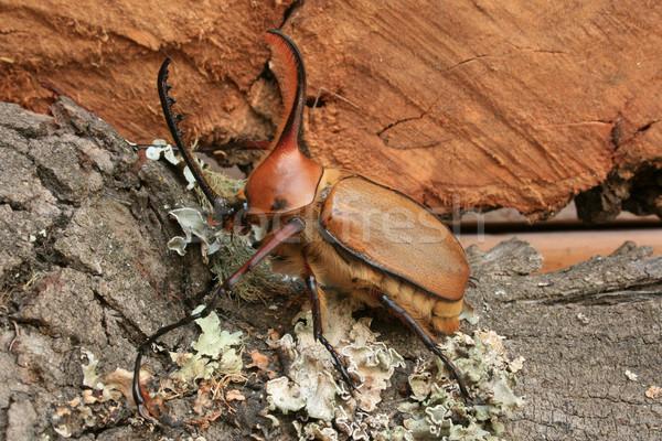 Rhinoceros Beetle on Wood Stock photo © rhamm
