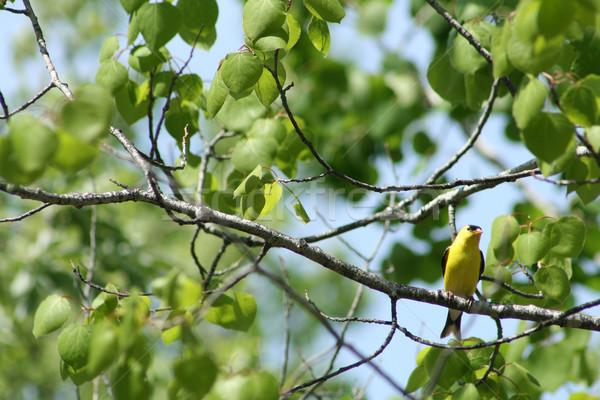 American Goldfinch on a Branch Stock photo © rhamm