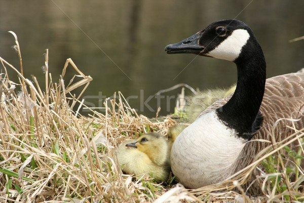 Canada Goose and One Gosling Watching Stock photo © rhamm
