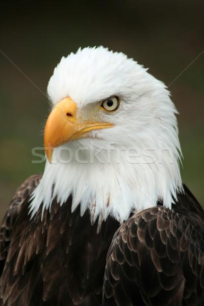 Cabeça careca Águia americano ao ar livre pássaro Foto stock © rhamm