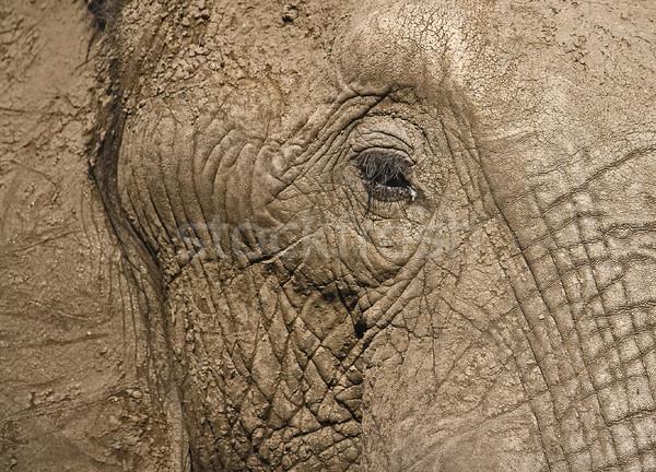 Afrika fil göz cilt su delik Botsvana Stok fotoğraf © ribeiroantonio