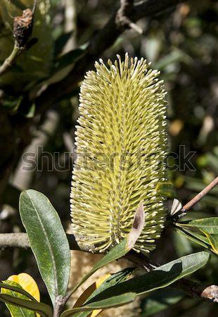 Banksia Flower Stock photo © ribeiroantonio
