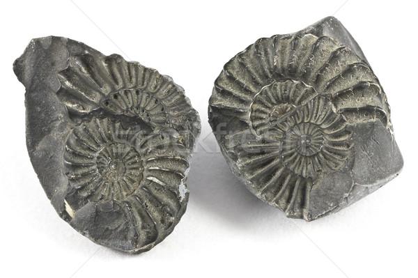 Ammonite Fossil Stock photo © ribeiroantonio