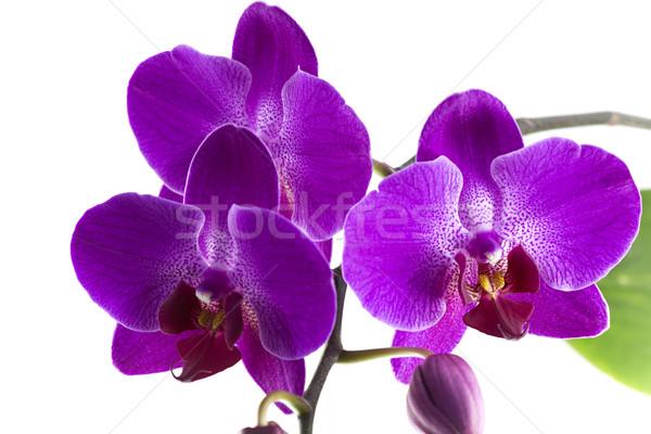 紫色 蘭 花 家族 開花 ストックフォト © ribeiroantonio
