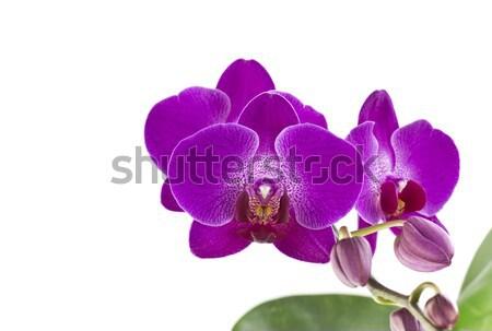 Purple Orchid Flower Stock photo © ribeiroantonio