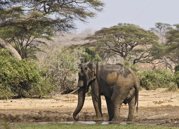 Afrikaanse olifant water gat park Botswana natuur Stockfoto © ribeiroantonio