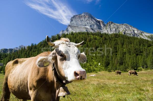 горные пастбище корова итальянский природного парка Сток-фото © rmarinello