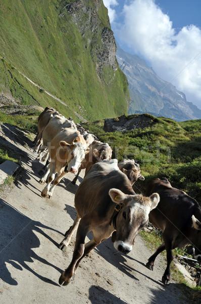 Cows in rough grazing Stock photo © rmarinello