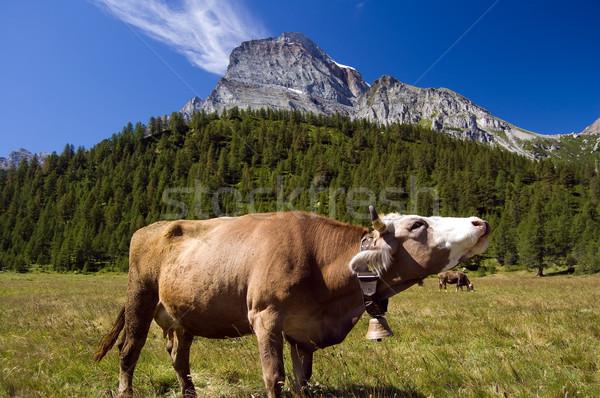 Cow in alpine landscape Stock photo © rmarinello