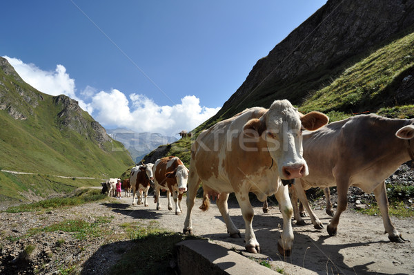 коров грубо высокий горные альпийский животного Сток-фото © rmarinello