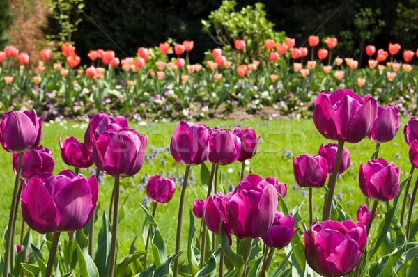 фиолетовый тюльпаны саду красный природы фон Сток-фото © rmarinello
