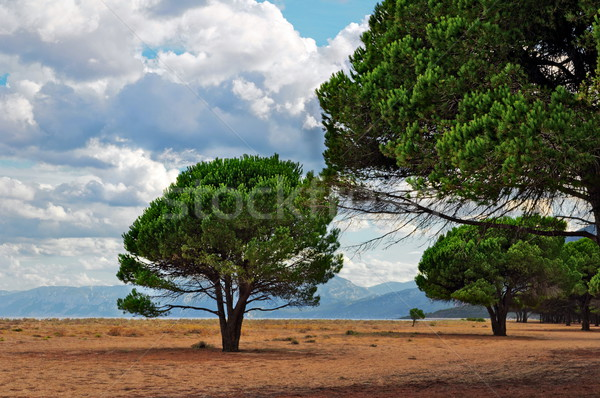 соснового пляж облака деревья лет Сток-фото © rmarinello