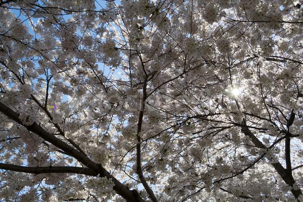 Stok fotoğraf: Güneş · kiraz · çiçeği · festival · bahar · kutlama
