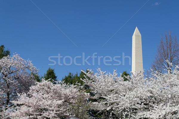 Cherry trees by the Washington Memorial Stock photo © rmbarricarte