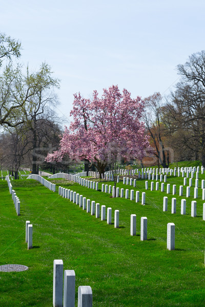 Cherry blossom at the Arlington Cemetery  Stock photo © rmbarricarte