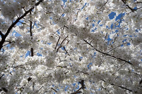 Kers boom bloemen kersenbloesem festival voorjaar Stockfoto © rmbarricarte