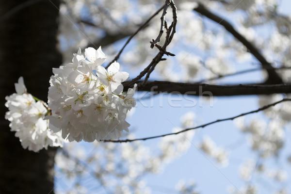 Cseresznyevirágzás köteg cseresznyevirág fesztivál tavasz ünneplés Stock fotó © rmbarricarte
