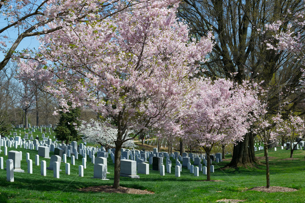 Pink cherry tree at the Arlington Cemetery  Stock photo © rmbarricarte