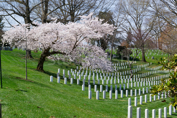 Sakura tree at the Arlington Cemetery  Stock photo © rmbarricarte