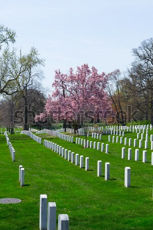 Pink flowers at Arlington Cemetery  Stock photo © rmbarricarte
