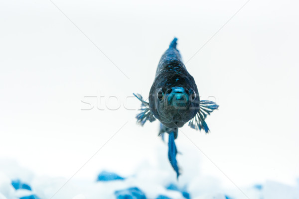 синий рыбы истребитель аквариум белый камней Сток-фото © robinsonthomas