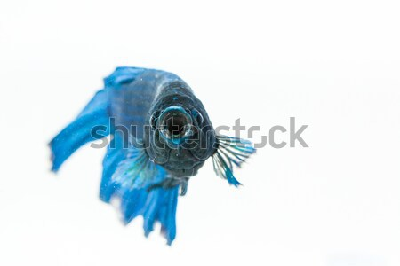Betta fish with open mouth Stock photo © robinsonthomas