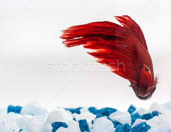 Tail of red betta fish Stock photo © robinsonthomas