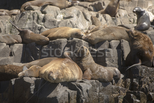 Fourrures île océan tasmanie groupe Photo stock © roboriginal