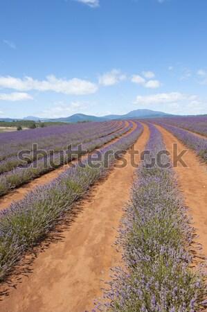 Tasmanië Australië paars lavendel planten landschap Stockfoto © roboriginal