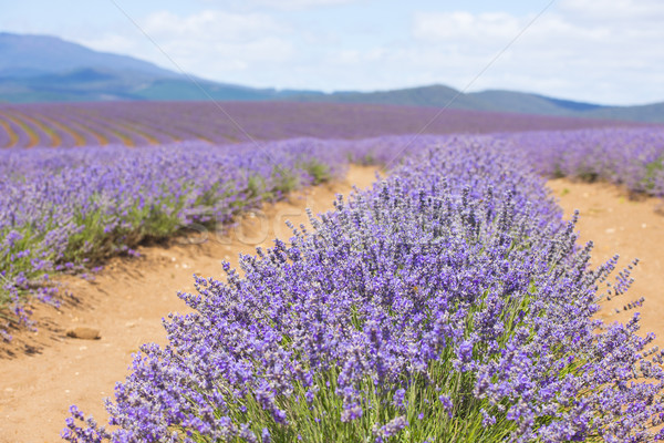 Tasmanie Australie pourpre champ de lavande domaine Photo stock © roboriginal