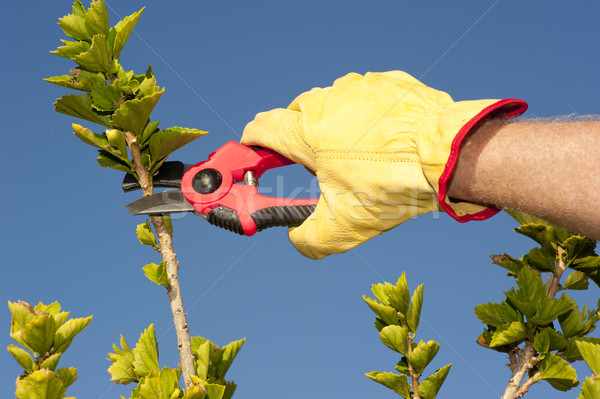Garden work pruning hedge sky background Stock photo © roboriginal