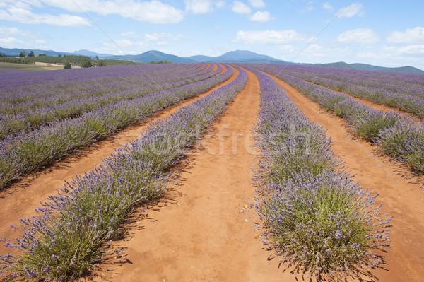 Tasmanië Australië paars lavendel kruiden veld Stockfoto © roboriginal