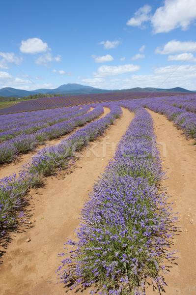 Tasmanie Australie lavande ferme domaine pourpre Photo stock © roboriginal