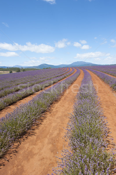 Purple Lavender plants on farm in Tasmania Stock photo © roboriginal