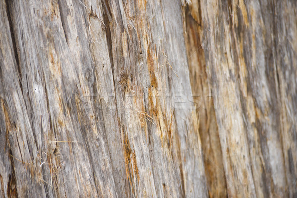 Detail Eucalyptus tree texture rainforest Tasmania Stock photo © roboriginal