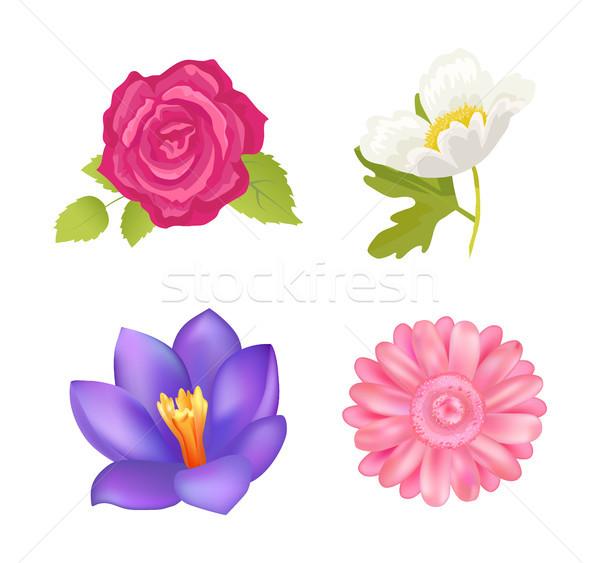 Rose and Gerbera Closeup, Vector Illustration Stock photo © robuart