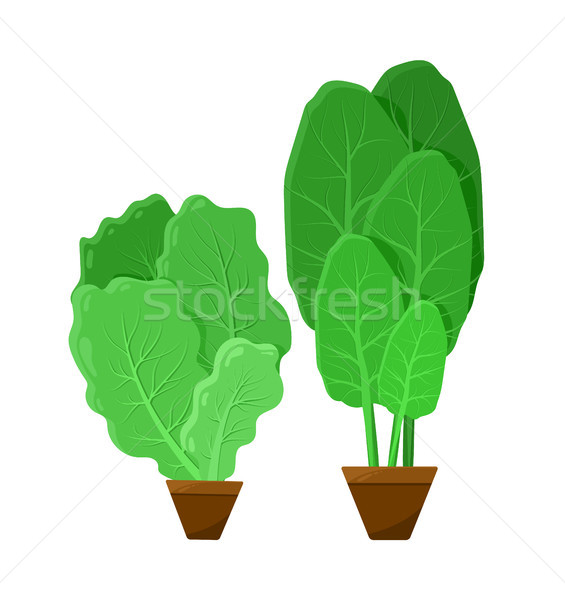 Green Bunches of Salad, Color Vector Illustration Stock photo © robuart