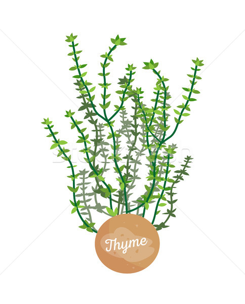 Thyme Poster Aromatic Plant Vector Illustration Stock photo © robuart