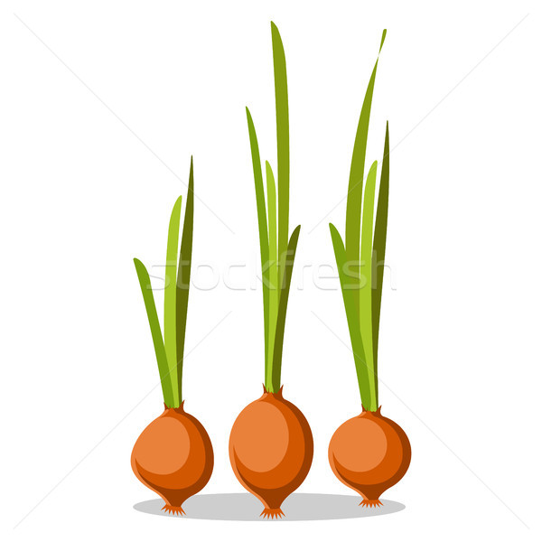 Three Old Onions with Long Green Leaves Poster Stock photo © robuart