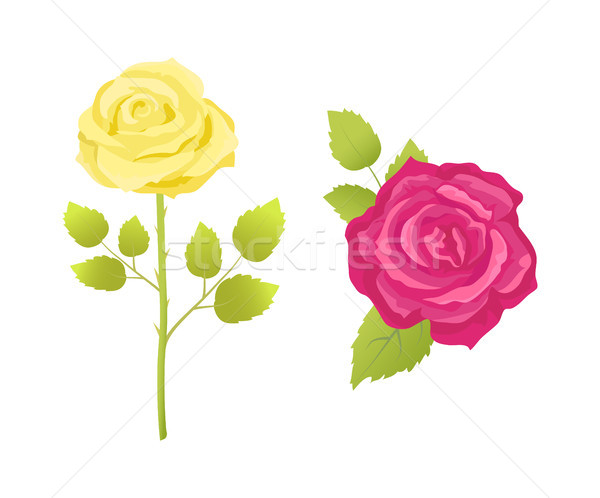 Rose Flower in Pink and Yellow Color Stem Vector Stock photo © robuart