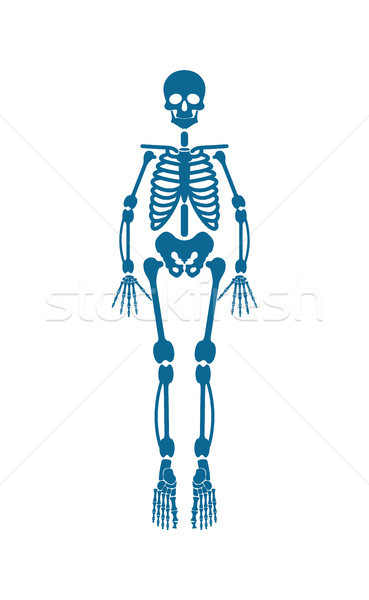 Human Skeleton of Blue Color Vector Illustration Stock photo © robuart