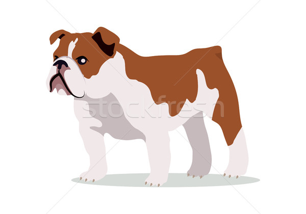Stock photo: English Bulldog Vector Flat Design Illustration