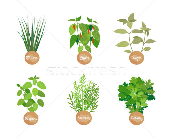 Chives and Chile Collection Vector Illustration Stock photo © robuart